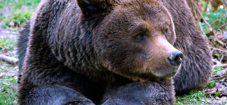 varicoză și grăsime de urs